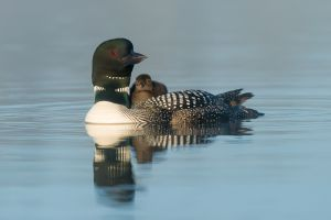 Common loon carrying chick, British Columbia.