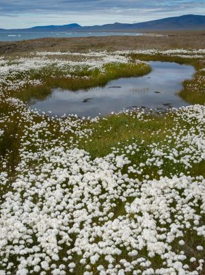 Cottongrass and tundra pool, Russian Far East.