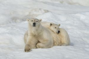 Polar bear cub rests on its mother, Russian Far East.