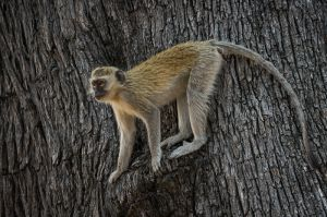 Black-faced vervet monkey, Botswana.