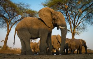 Elephants at waterhole, Botswana.