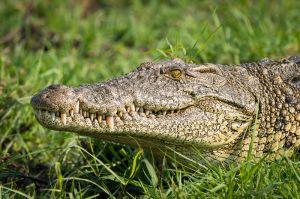 Nile crocodile, Botswana.