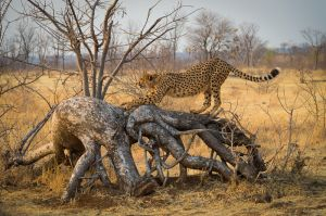 Cheetah stretching, Zimbabwe.