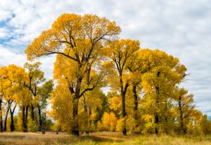 Narrowleaved cottonwood in autumn, Montana.