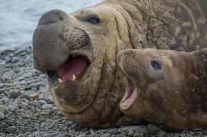 Southern elephant seal pair, South Georgia Island.