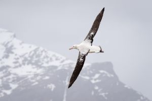 Wandering albatross, South Georgia Island.