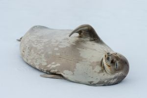 Weddell seal on ice floe, Antarctica.