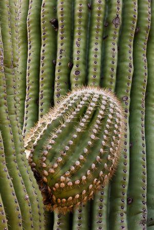 Saguaro cactus, Arizona.