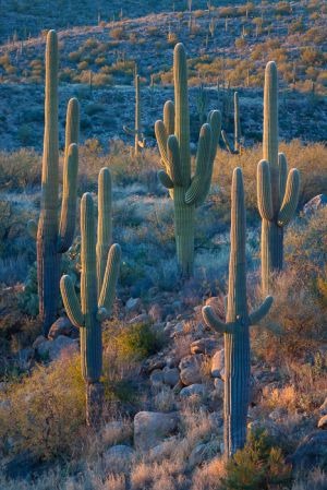 Saguaro cacti at sunset, Arizona.