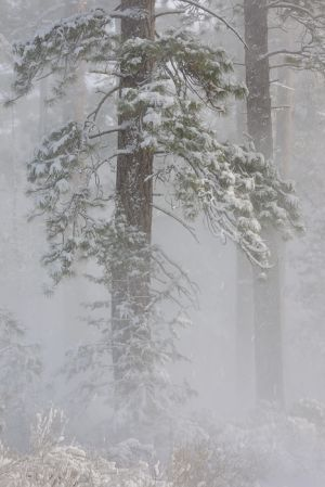 Ponderosa pines in blizzard, Oregon.