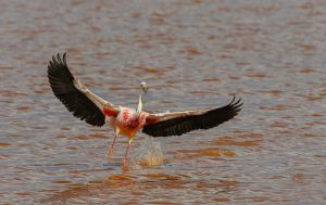 James's flamingo, Bolivia.
