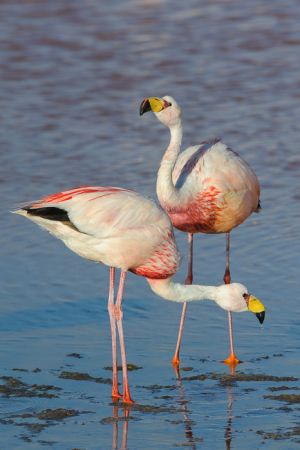 James's flamingos, Bolivia.