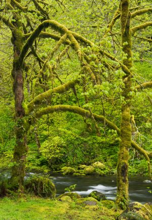 Moss covered trees, Columbia Gorge, Oregon.