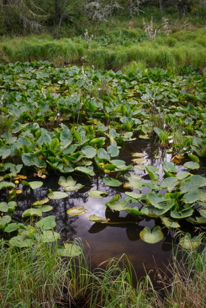 Woodland pool with pond lilies, Oregon.