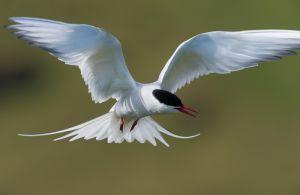Arctic tern, Iceland.