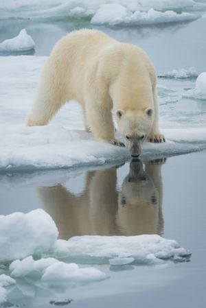 Polar bear in pack ice, Spitsbergen.