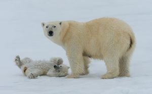 Polar bear and cub, Spitsbergen.