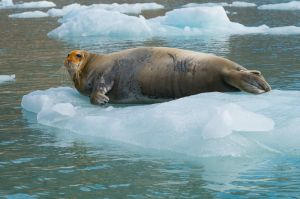 Bearded seal on ice floe, Spitsbergen.