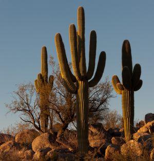 Saguaro cacti, Arizona.