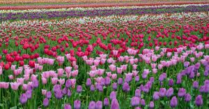 Tulips, Oregon.