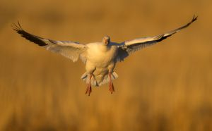 Snow goose landing, Bosque del Apache NWR, New Mexico.