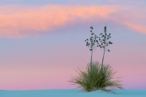 Soaptree yucca at sunset, White Sands National Monument, New Mexico.