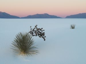 Soaptree yucca at first light, White Sands National Monument, New Mexico.