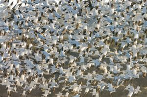Snow geese taking flight, Bosque del Apache NWR, New Mexico.