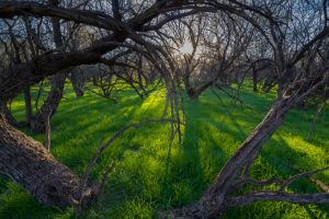 Mesquite trees in spring, Arizona.