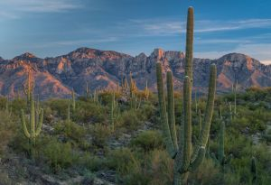Saguaro cacti and the Catalina Mountains, Arizona.