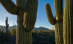Saguaro cacti in morning light, Arizona.
