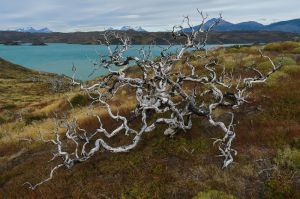 Burned beech trees near Lago Pehoe, Torres del Paine National Park, Chile.