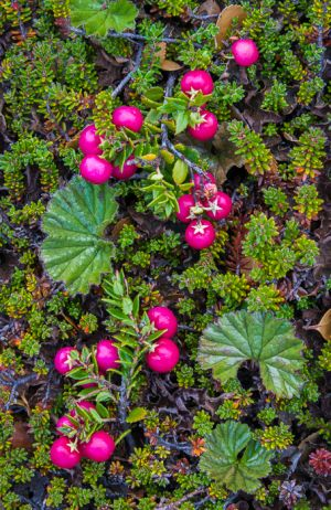 Swamp berry, Torres del Paine National Park, Chile.