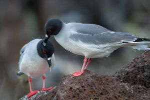 Swallowtail gulls, Galapagos Islands.
