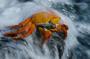 Sally lightfoot crab washed by suft, Galapagos Islands.