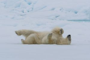 Polar bear rolling in snow, Spitsbergen.