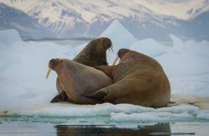 Walrus, Spitsbergen.