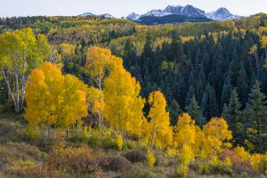 Autumn quaking aspens and the Sneffels Range, Colorado.