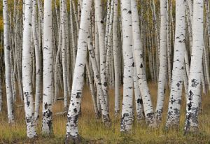 Aspen trunks, Colorado.