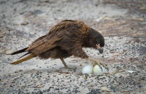 Striated caracara taking gentoo penguin egg, Falkland Islands.