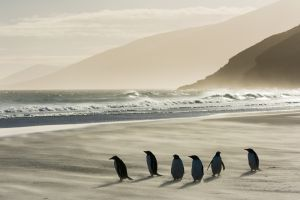 Gentoo penguins on windy beach, Falkland Islands.
