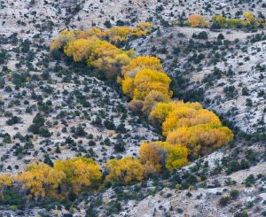 Autumn cottonwoods outline Boulder Creek, Grand Staircase - Escalante National Monument, Utah.