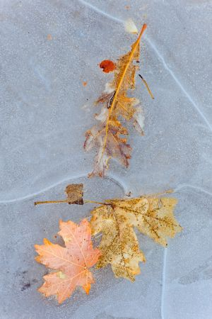 Leaves frozen into ice, Zion National Park, Utah.