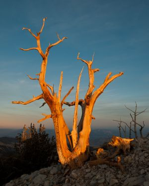 Bristlecone pine, Inyo National Forest, California.