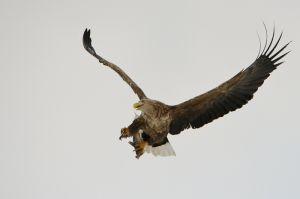White-tailed eagle, Hokkaido, Japan.