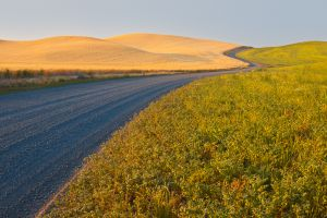 Gravel road between wheat and lentil fields, Palouse region of SE Washington.