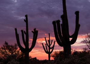 Saguaro cacti and stormy sunset, Arizona.