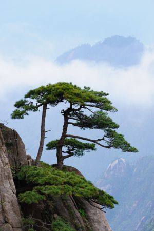 Chinese white pine at Mt. Huangshan (Yellow Mountain).