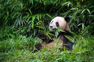 Giant panda, Bifengxia Panda Center, Sichuan Province.
