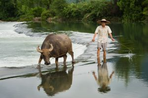 Chinese man and his water buffalo wade across a river, near Yangshuo.